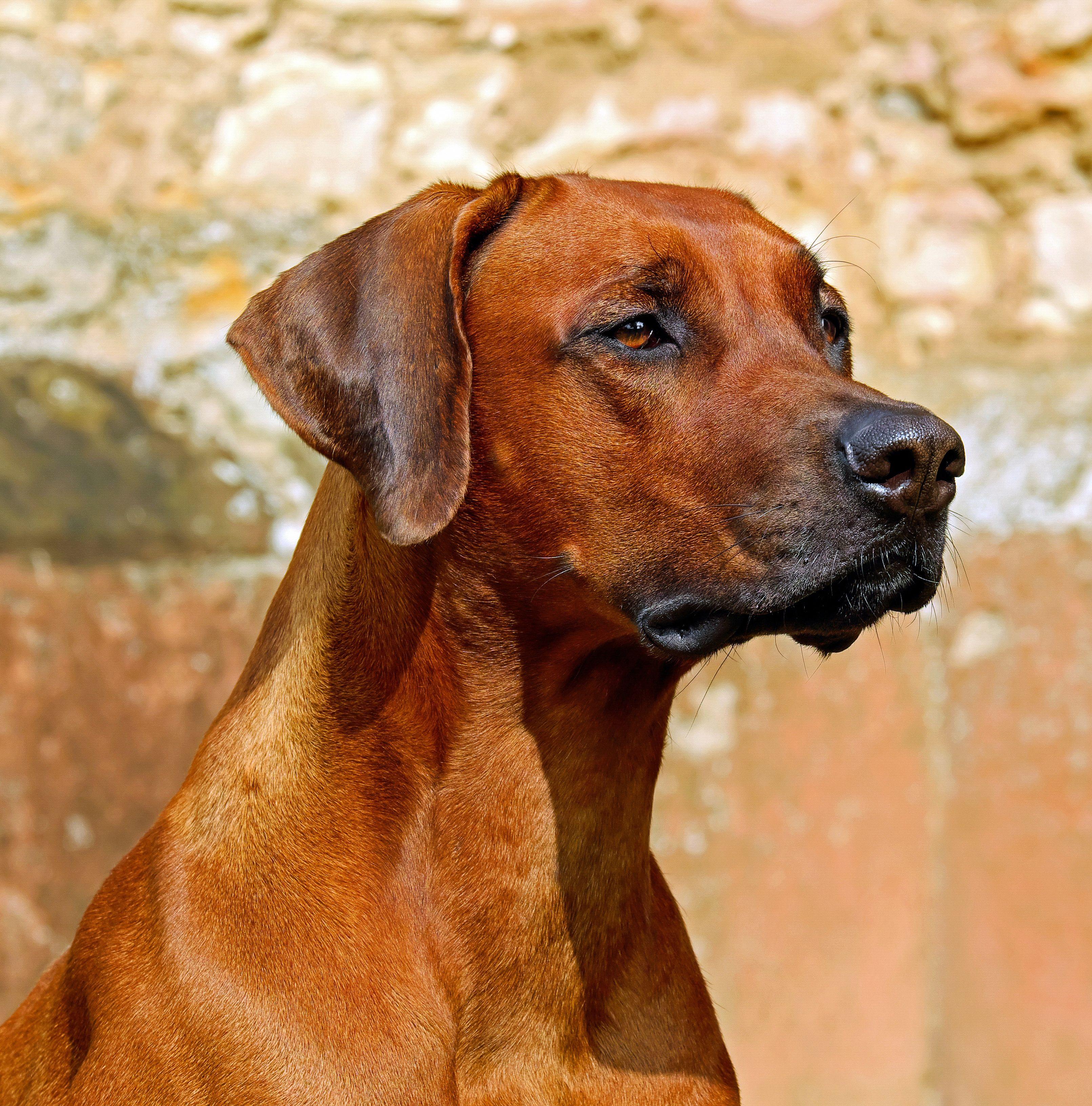 Rhodesian Ridgeback in Münsingen Hunde kaufen