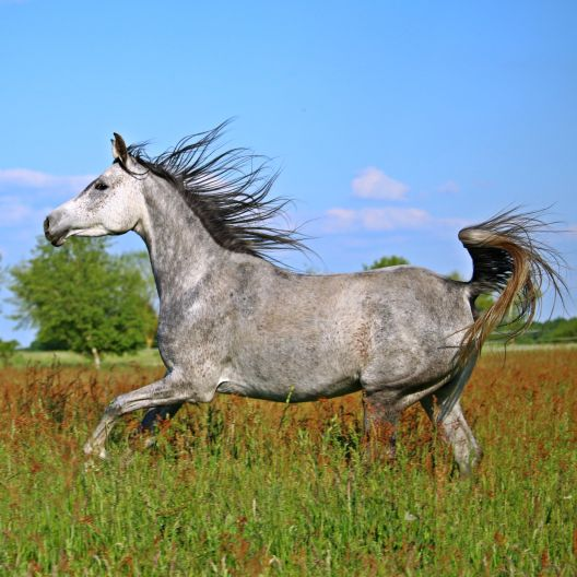 Grey arabian horse running in a green field