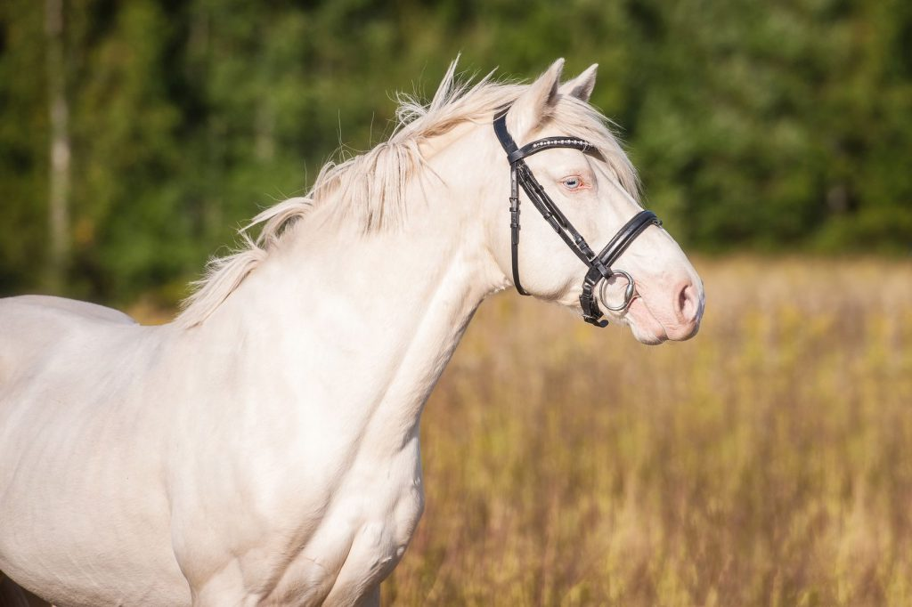 Portrait of beautiful albino horse with blue eyes - CAG - Center for Animal Genetics - photo#19